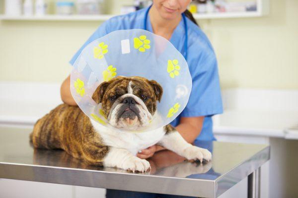Como proceder diante das feridas em cães 2
