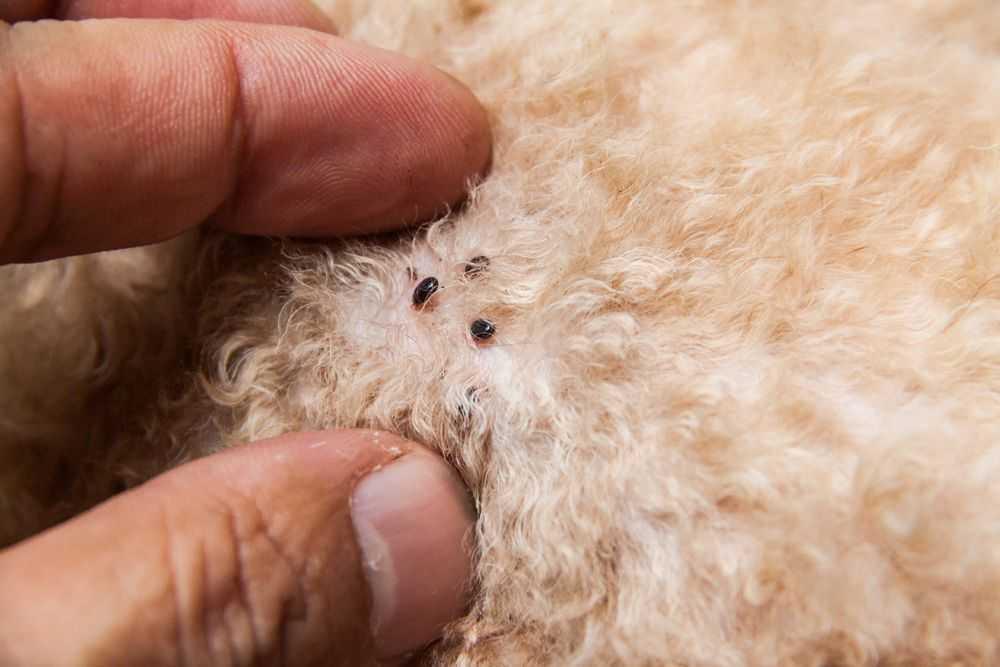 Identificando, evitando e tratando pulgas em cachorros e gatos 1