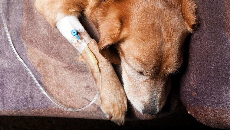 Cetoacidose Diabética em cachorros