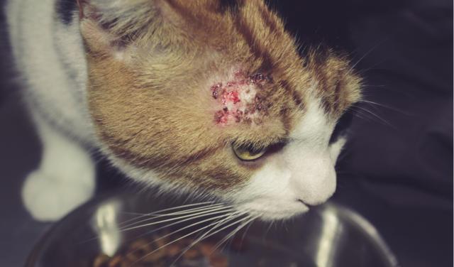 Identificando, evitando e tratando pulgas em cachorros e gatos 6