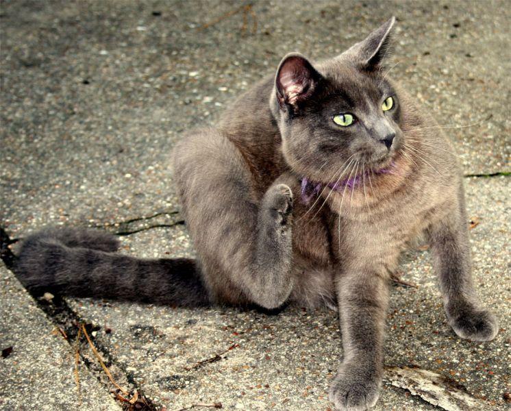 Identificando, evitando e tratando pulgas em cachorros e gatos 4