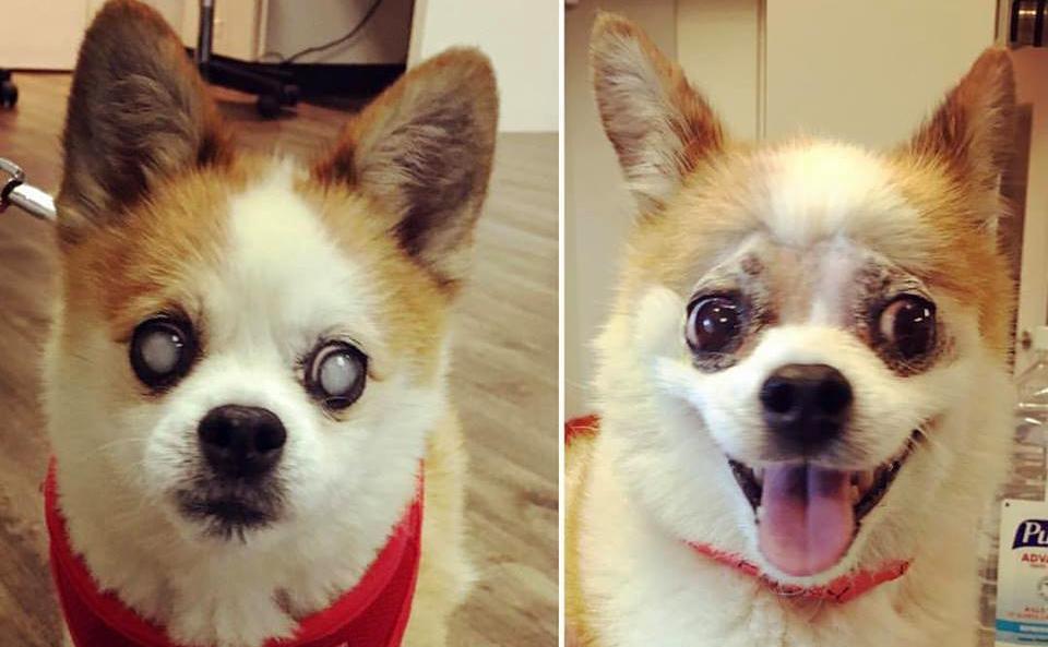 Catarata cachorro: antes e depois da cirurgia