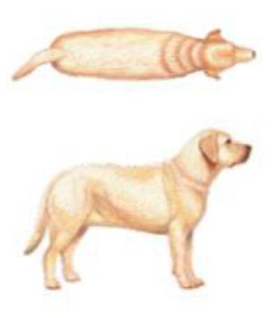 Cachorro com sobrepeso