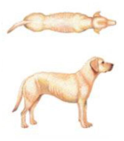 Cachorro abaixo do peso ideal