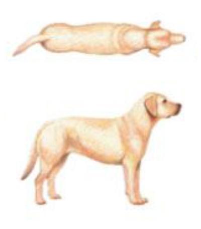 Cachorro no peso ideal