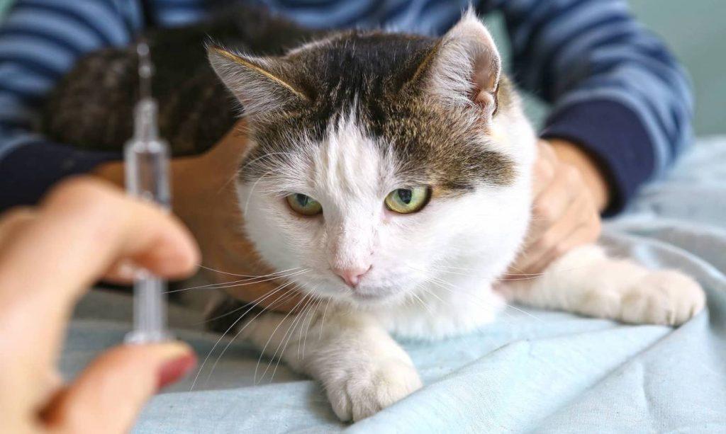 Perguntas e Respostas sobre diabetes em gatos 1