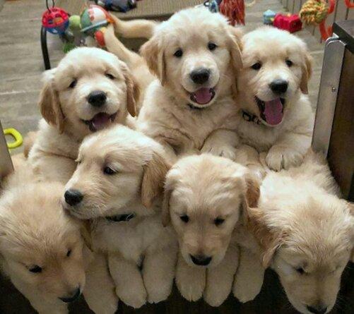 Diabetes canina em filhotes