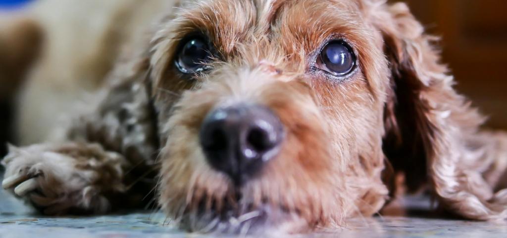 As 10 doenças mais comuns nos olhos caninos: como identificar e o que fazer 11