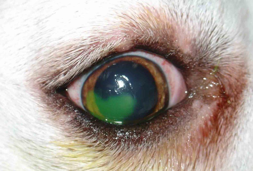 Úlcera de córnea em cachorros