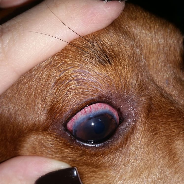 Uveíte veterinária em cachorros