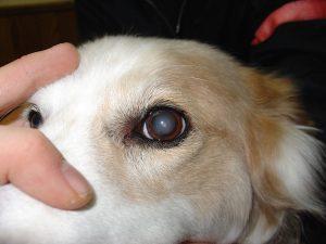 Manchas brancas nos olhos dos cachorros sempre é sinal de catarata? 1