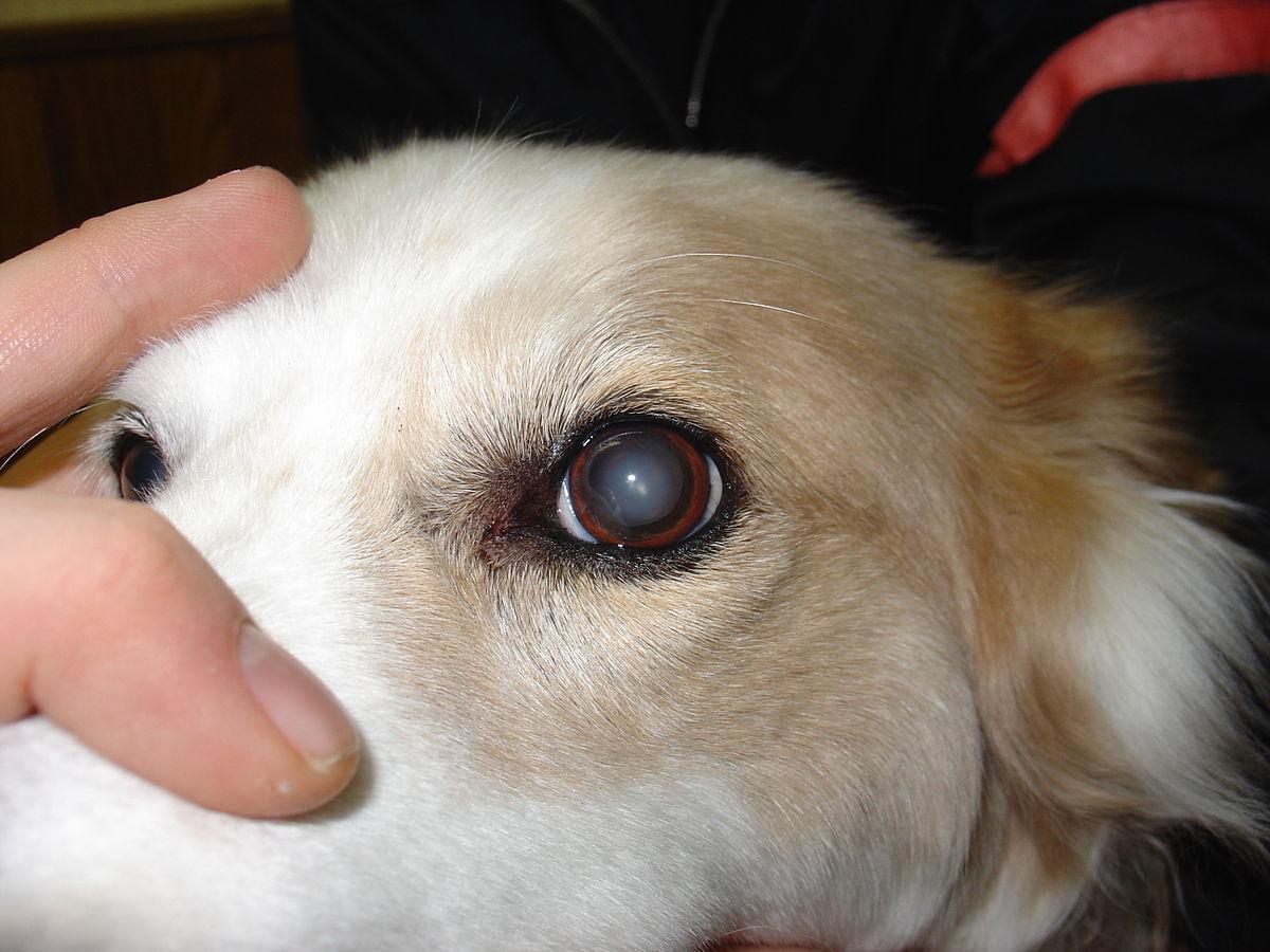 Perguntas e respostas sobre catarata veterinária 1
