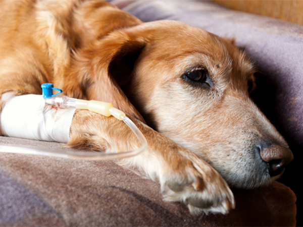 Quimioterapia cachorro linfoma