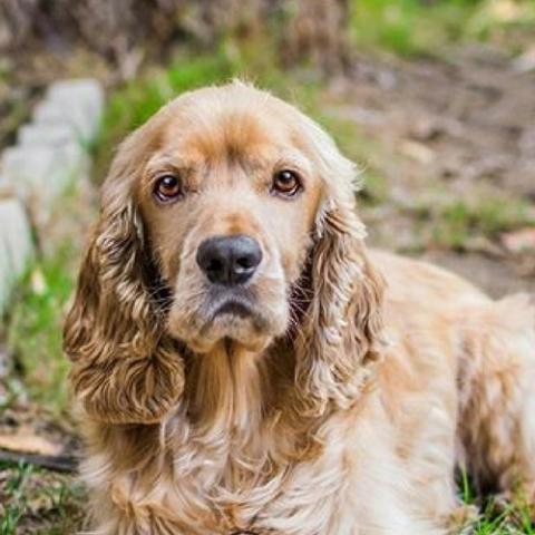 Tipos de pelos de cachorro e seus cuidados 7