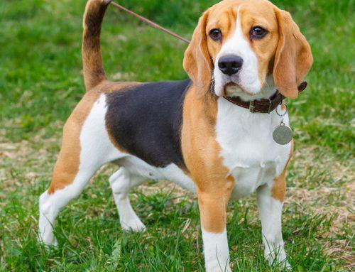 Beagles: curiosidades, história e fatos interessantes