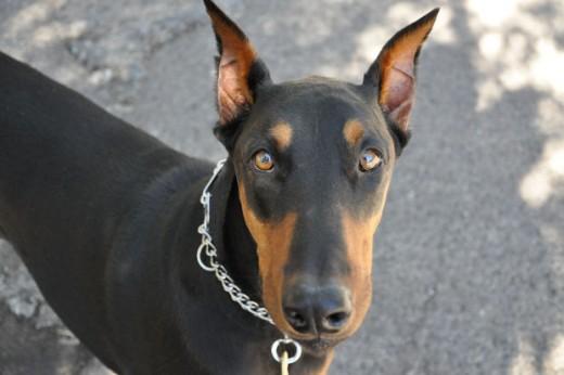 O que é a Diabetes Mellitus canina? 17