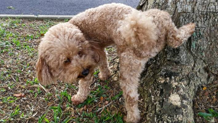 O que é a Diabetes Mellitus canina? 15