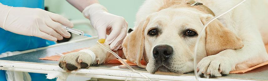 Tratamento de câncer de mama - quimioterapia em cachorro em Santo André, SP