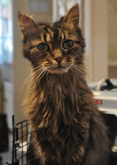 Hipertireoidismo em gatos 4