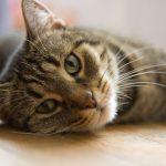Saiba mais sobre as doenças de coração em gatos 9