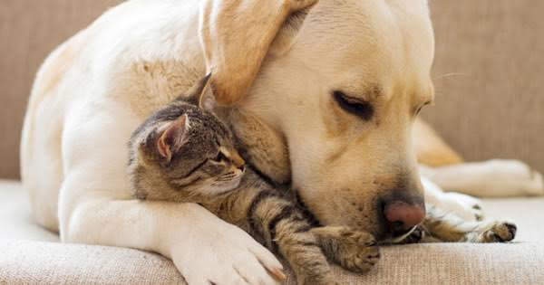 Gravidez psicológica canina - O que fazer? 1
