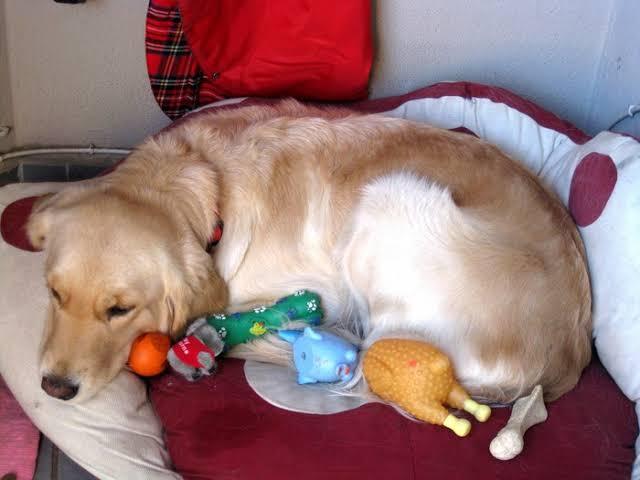 Gravidez psicológica canina - O que fazer? 2