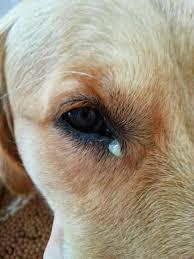 Excesso de remela nos olhos do seu cão? Saiba o que pode ser 1
