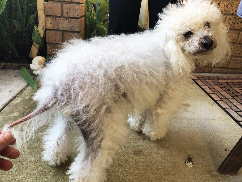 Conheça o Hiperadenocorticismo ou Síndrome de Cushing em cães 4