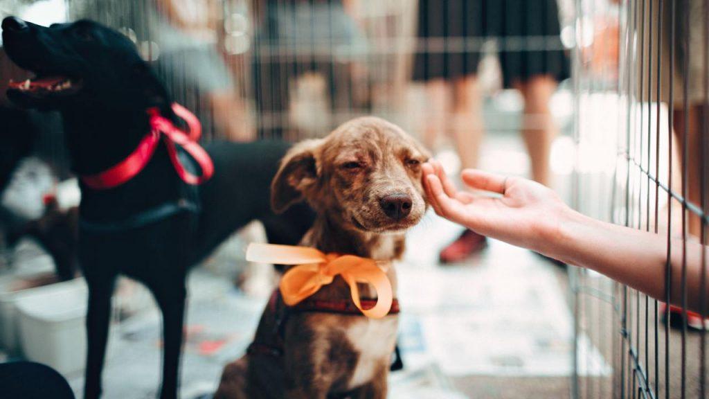 Guia para adoção de pet