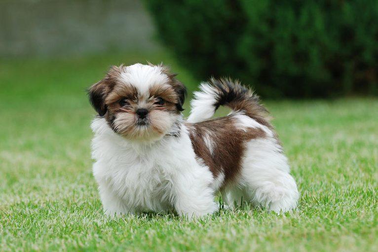 Tipos de pelos de cachorro e seus cuidados 4