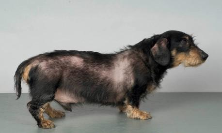 Conheça o Hiperadenocorticismo ou Síndrome de Cushing em cães 2
