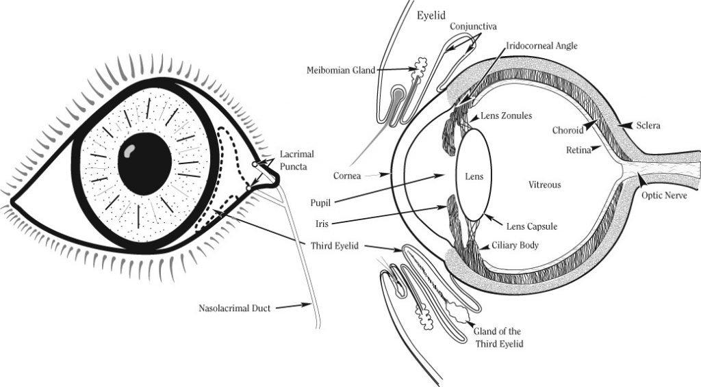 Infecção no olho do cachorro: o que fazer e quando se preocupar 4