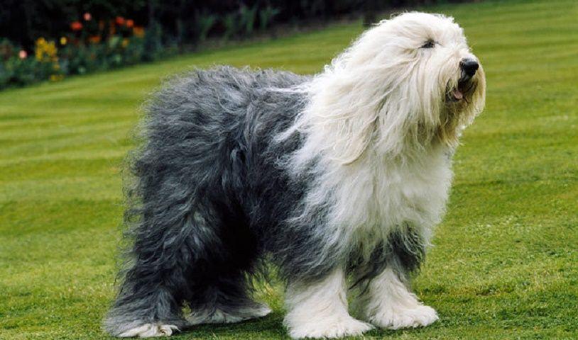 Tipos de pelos de cachorro e seus cuidados 22