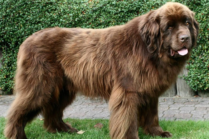Tipos de pelos de cachorro e seus cuidados 10