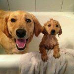 Banho e tosa de Golden Retriever 1
