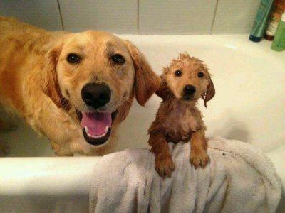 Banho e tosa de Golden Retriever 11