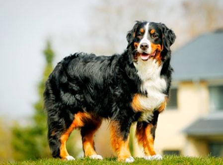 Tipos de pelos de cachorro e seus cuidados 9