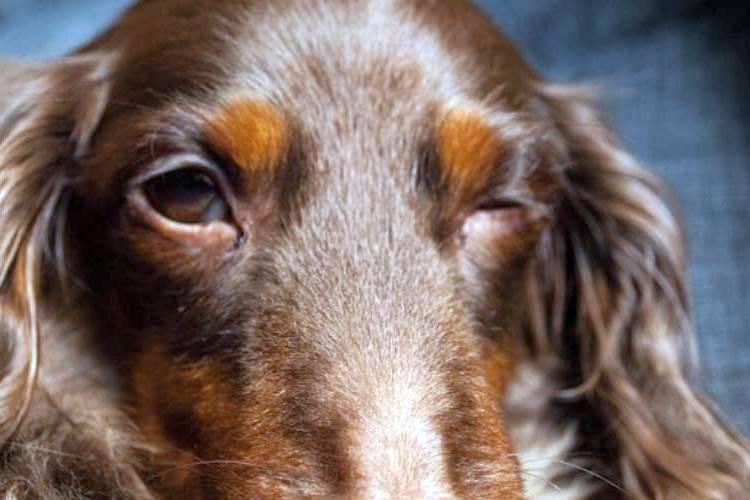 cachorro piscando olho Blefarospasmo