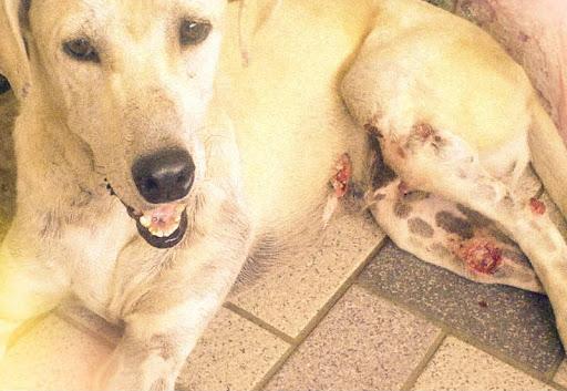 Câncer de pele em Cachorros - sintomas e tratamento 2