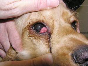 Infecção no olho do cachorro: o que fazer e quando se preocupar 3