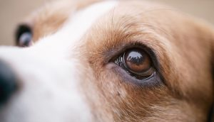 As 11 doenças mais comuns nos olhos caninos: como identificar e o que fazer 1