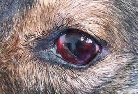 Lesões oculares em cães - como identificar e tratar 2