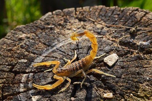Picada de escorpião em cachorro - como identificar e o que fazer 2