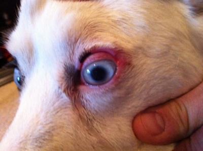 Lesões oculares em cães - como identificar e tratar 3