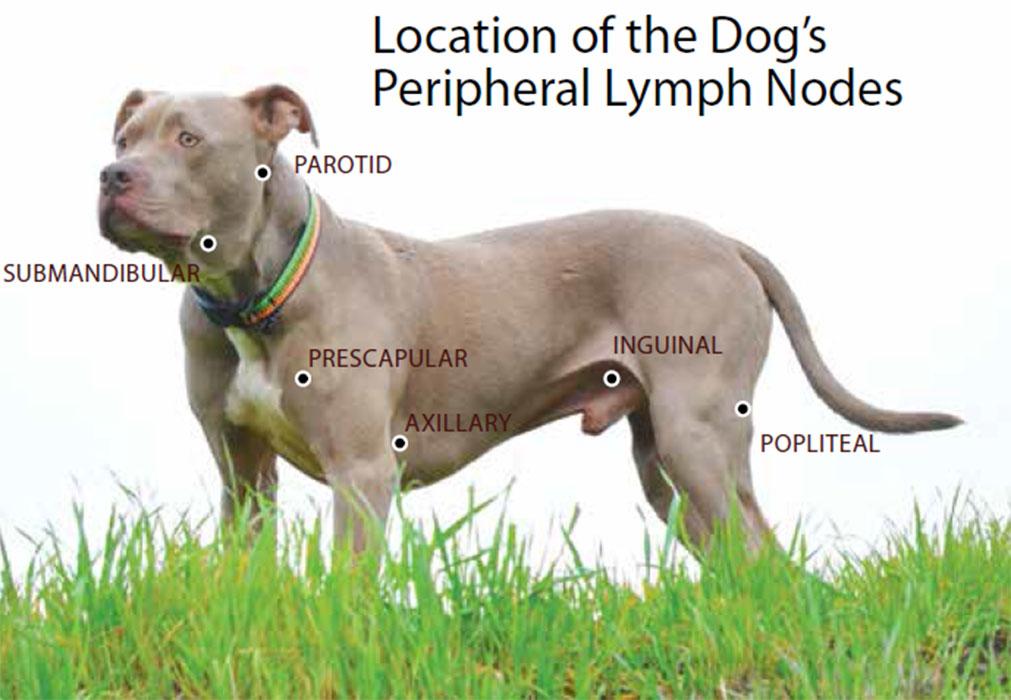 Local dos gânglios linfáticos em cachorros