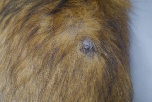 Câncer de pele em Cachorros - sintomas e tratamento 4