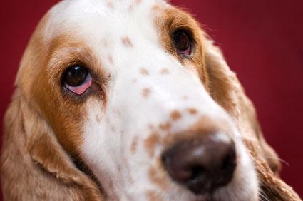 Infecção no olho do cachorro: o que fazer e quando se preocupar 2
