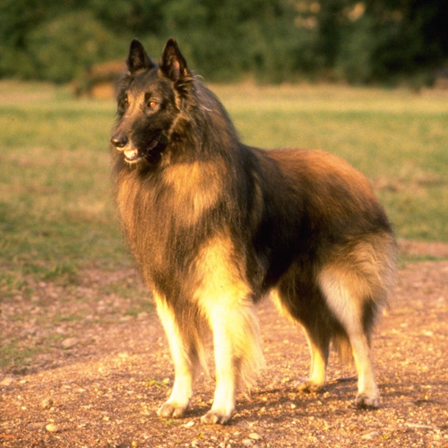 Tipos de pelos de cachorro e seus cuidados 15