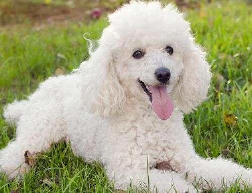 Cuidados Gerais e Higiene para um Poodle