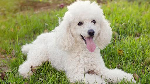 Cuidados Gerais e Higiene para um Poodle 3